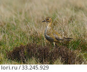 Купить «Golden plover (Pluvialis apricaria) female standing in Heather on Grouse Moor, Upper Teesdale, Durham, England. UK, June», фото № 33245929, снято 3 августа 2020 г. (c) Nature Picture Library / Фотобанк Лори