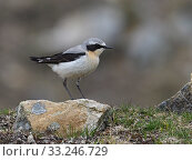 Купить «Wheatear (Oenanthe oenanthe) male perched on rock, Upper Teesdale, Co Durham, England, June», фото № 33246729, снято 4 апреля 2020 г. (c) Nature Picture Library / Фотобанк Лори