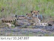Купить «cheetah in the Masai Mara with baby», фото № 33247897, снято 29 мая 2020 г. (c) PantherMedia / Фотобанк Лори