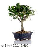 Купить «Chinese green bonsai tree», фото № 33248497, снято 12 июля 2020 г. (c) PantherMedia / Фотобанк Лори