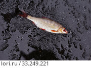 Купить «winter fishing. perch fish on black ice», фото № 33249221, снято 10 июля 2020 г. (c) PantherMedia / Фотобанк Лори