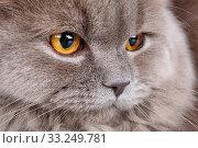 Купить «portrait of gray cat with yellow eyes», фото № 33249781, снято 29 февраля 2020 г. (c) PantherMedia / Фотобанк Лори