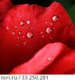 Купить «dew drops on the leaves of red roses», фото № 33250281, снято 29 февраля 2020 г. (c) PantherMedia / Фотобанк Лори