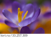 Купить «Crocus in spring and cloudless sky,near photographed,plants in sunny backlight,shapes and colors», фото № 33257309, снято 6 августа 2020 г. (c) PantherMedia / Фотобанк Лори
