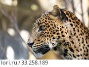 Купить «portrait of Persian leopard», фото № 33258189, снято 13 июля 2020 г. (c) PantherMedia / Фотобанк Лори