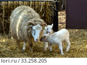 Купить «Sheep with lamb on rural farm», фото № 33258205, снято 6 июля 2020 г. (c) PantherMedia / Фотобанк Лори
