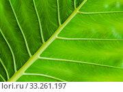 Tropical plant fresh green leaf background. Стоковое фото, фотограф EugeneSergeev / Фотобанк Лори