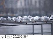 Купить «black-headed gulls (larus ridibundus) on the perch at lake zurich», фото № 33263381, снято 5 июня 2020 г. (c) PantherMedia / Фотобанк Лори