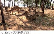 Дикие пятнистые олени, живущий в Форте Фредерик. Тринкомали, Шри-Ланка. Стоковое видео, видеограф Виктор Карасев / Фотобанк Лори