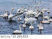 Купить «Wild swans wintering on lake Svetloye, waving their wings. Altai territory. Russia», фото № 33269833, снято 25 января 2020 г. (c) Наталья Волкова / Фотобанк Лори
