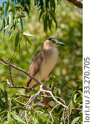 Купить «Nankeen / Rufous night heron (Nycticorax caledonicus) perched in Eucalyptus tree. North Queensland, Australia.», фото № 33270705, снято 13 июля 2020 г. (c) Nature Picture Library / Фотобанк Лори