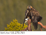 Купить «Golden Eagle (Aquila chrysaetos) on a branch with its prey. Finland, March.», фото № 33270761, снято 4 апреля 2020 г. (c) Nature Picture Library / Фотобанк Лори