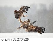 Купить «White Tailed Eagles (Haliaeetus albicilla), fighting, Poland, February.», фото № 33270829, снято 4 апреля 2020 г. (c) Nature Picture Library / Фотобанк Лори