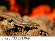 Купить «Madeiran wall lizard (Lacerta dugesii) Madeira. Endemic species.», фото № 33271069, снято 30 марта 2020 г. (c) Nature Picture Library / Фотобанк Лори