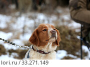 Купить «Portrait of a hunting dog breed purebred spaniel», фото № 33271149, снято 15 февраля 2020 г. (c) Яна Королёва / Фотобанк Лори