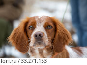 Купить «Portrait of a hunting dog breed purebred spaniel», фото № 33271153, снято 15 февраля 2020 г. (c) Яна Королёва / Фотобанк Лори