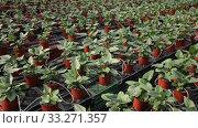 Купить «Plantation of asplenium antiquum in greenhouse», видеоролик № 33271357, снято 29 октября 2019 г. (c) Яков Филимонов / Фотобанк Лори