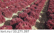 Купить «Closeup of ripe red leaf lettuce cultivars on large plantation in sunny day», видеоролик № 33271397, снято 4 августа 2020 г. (c) Яков Филимонов / Фотобанк Лори