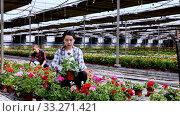 Experienced workers gardening in glasshouse, checking flowers of geranium. Стоковое видео, видеограф Яков Филимонов / Фотобанк Лори