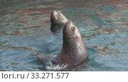 Купить «Group wild animal marine mammal Northern Sea Lion swimming water Pacific Ocean», видеоролик № 33271577, снято 29 февраля 2020 г. (c) А. А. Пирагис / Фотобанк Лори