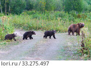 Купить «Kamchatka brown she-bear come out forest with three bear cubs, walking along country road with funny yearling beasts. Wild animals in natural habitat», фото № 33275497, снято 20 августа 2019 г. (c) А. А. Пирагис / Фотобанк Лори