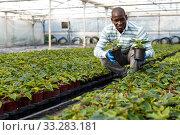 Купить «Florist cultivating Euphorbia pulcherrima», фото № 33283181, снято 16 августа 2018 г. (c) Яков Филимонов / Фотобанк Лори