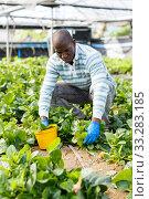Farmer controlling process of growing of Malabar spinach. Стоковое фото, фотограф Яков Филимонов / Фотобанк Лори