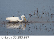 Купить «Great white egret (Egretta alba) catching a Common rudd (Scardinius erythrophthalmus) in a marshland pool, RSPB Ham Wall reserve, Somerset, UK, October.», фото № 33283997, снято 28 марта 2020 г. (c) Nature Picture Library / Фотобанк Лори