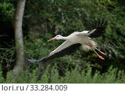 Купить «Captive reared juvenile White stork (Ciconia ciconia) flying from a temporary holding pen on release day with a GPS transmitter on its back, Knepp Estate, Sussex, UK, August 2019.», фото № 33284009, снято 28 марта 2020 г. (c) Nature Picture Library / Фотобанк Лори
