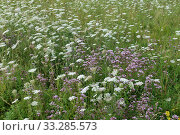 Купить «White flowering wild carrot (Daucus carota) and pink wild marjoram or oregano, (Origanum vulgare) flowering, Berkshire, England, UK, August», фото № 33285573, снято 10 июля 2020 г. (c) Nature Picture Library / Фотобанк Лори
