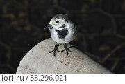 Купить «Белая трясогузка (лат. Motacilla alba)», эксклюзивное фото № 33296021, снято 15 сентября 2014 г. (c) lana1501 / Фотобанк Лори