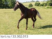 Купить «A silver-black horse breed Rocky mountains horse gallops across a field on a summer day», фото № 33302013, снято 8 июня 2014 г. (c) Наталья Волкова / Фотобанк Лори