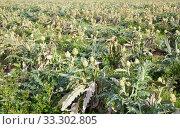 Field planted with artichokes. Стоковое фото, фотограф Яков Филимонов / Фотобанк Лори