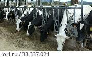 Dairy black and white cows on the farm. Стоковое видео, видеограф Яков Филимонов / Фотобанк Лори