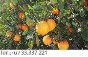 Купить «Closeup of green tangerines trees with oranges outdoor», видеоролик № 33337221, снято 2 апреля 2020 г. (c) Яков Филимонов / Фотобанк Лори