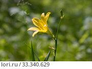 Красоднев жёлтый ( Hemerocallis flava L.) цветёт в естественной среде. Стоковое фото, фотограф Светлана Попова / Фотобанк Лори