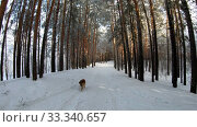 Купить «Slow motion video of walking through Siberian winter pine forest under the snow. Dog on trail.», видеоролик № 33340657, снято 27 февраля 2020 г. (c) Serg Zastavkin / Фотобанк Лори