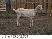 Белая коза на улице. Стоковое фото, фотограф Марина Володько / Фотобанк Лори