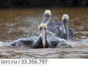 Brown Pelican (Pelecanus occidentalis) bathing, Ria Celestun Biosphere Reserve, Yucatan Peninsula, Mexico, January. Стоковое фото, фотограф Claudio  Contreras / Nature Picture Library / Фотобанк Лори