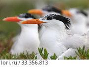 Купить «Royal Tern (Thalasseus / Sterna maxima) nesting, Ria Lagartos Biosphere Reserve, Yucatan Peninsula, Mexico, May», фото № 33356813, снято 31 мая 2020 г. (c) Nature Picture Library / Фотобанк Лори