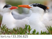 Купить «Royal Tern (Thalasseus / Sterna maxima) nesting, Ria Lagartos Biosphere Reserve, Yucatan Peninsula, Mexico, May», фото № 33356825, снято 31 мая 2020 г. (c) Nature Picture Library / Фотобанк Лори