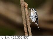Купить «Black-and-white Warbler (Mniotilta varia), Ria Celestun Biosphere Reserve, Yucatan Peninsula, Mexico, January», фото № 33356837, снято 30 мая 2020 г. (c) Nature Picture Library / Фотобанк Лори