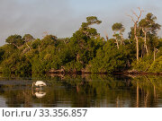 Купить «Wood Stork (Mycteria americana) feeding, Ria Lagartos Biosphere Reserve, Yucatan Peninsula, Mexico, July», фото № 33356857, снято 31 мая 2020 г. (c) Nature Picture Library / Фотобанк Лори