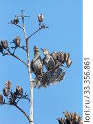 Купить «Yucatan Wren (Campylorhynchus yucatanicus) pair bonding perched on Agave seed head, Ria Celestun Biosphere Reserve, Yucatan Peninsula, Mexico, August», фото № 33356861, снято 31 мая 2020 г. (c) Nature Picture Library / Фотобанк Лори