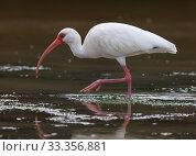 Купить «White Ibis (Eudocimus albus), Ria Celestun Biosphere Reserve, Yucatan Peninsula, Mexico, January», фото № 33356881, снято 30 мая 2020 г. (c) Nature Picture Library / Фотобанк Лори