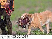 Купить «Labrador carrying a Common pheasant (Phasianus colchicus) Bas-Rhin, France, November.», фото № 33361025, снято 3 апреля 2020 г. (c) Nature Picture Library / Фотобанк Лори