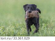 Купить «Labrador dog retrieving a grey partridge (Perdix perdix) -Rhin, France, November.», фото № 33361029, снято 3 апреля 2020 г. (c) Nature Picture Library / Фотобанк Лори