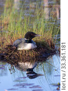 Common loon (Gavia immer), nest on a lake , Michigan, USA. June. Стоковое фото, фотограф Sylvain Cordier / Nature Picture Library / Фотобанк Лори