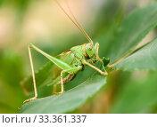Крупный кузнечик сидит на листве. Стоковое фото, фотограф Игорь Низов / Фотобанк Лори