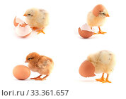 The set of yellow small chicks with egg isolated on a white background. Стоковое фото, фотограф Zoonar.com/Sergii Figurnyi / age Fotostock / Фотобанк Лори